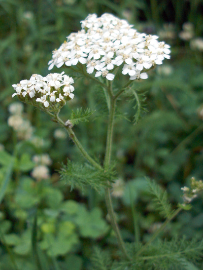 Common Yarrow (Achillea millefolium) : Flowering plant
