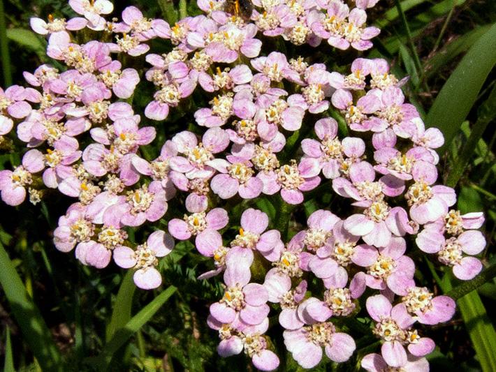 Achillee millefeuille (Achillea millefolium) Inflorescence rose