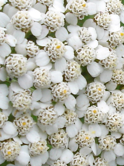 Common Yarrow (Achillea millefolium) : Flowers