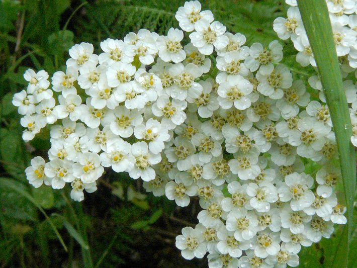 Common Yarrow (Achillea millefolium) : Inflorescence