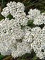 Common Yarrow : 2- Inflorescence