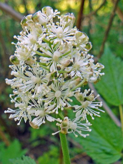 White baneberry (Actaea pachypoda) : Inflorescence