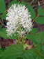 White baneberry : 5- Flowering plant