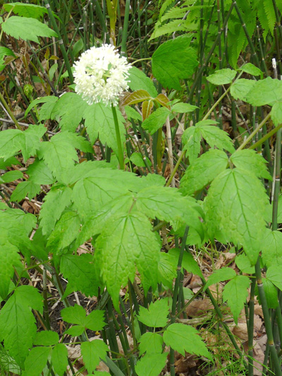 Red baneberry (Actaea rubra) : Flowering plant