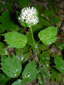 Red baneberry : 1- Flowering plant