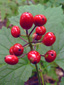 Red baneberry : 2- Fruits (berries)
