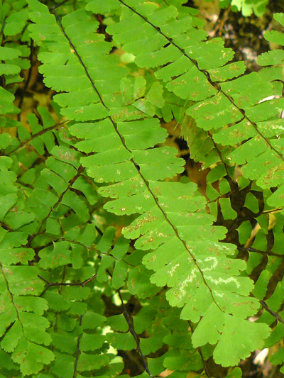 Northern maidenhair fern (Adiantum pedatum) : Pinnae