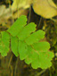 Northern maidenhair fern : 3- Pinnules