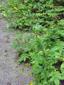 Aigremoine à sépales crochus : 2- Plantes en fleurs