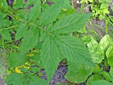 Hooked agrimony : 4- Feuille