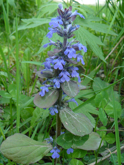 Creeping bugleweed (Ajuga reptans) : Flowering plant