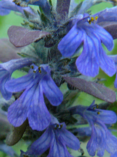 Creeping bugleweed (Ajuga reptans) : Flowers