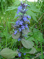 Creeping bugleweed : 1- Flowering plant