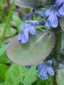 Creeping bugleweed : 3- Leaf and flowers