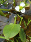 Common Water-Plantain : 5- Flower and leaf