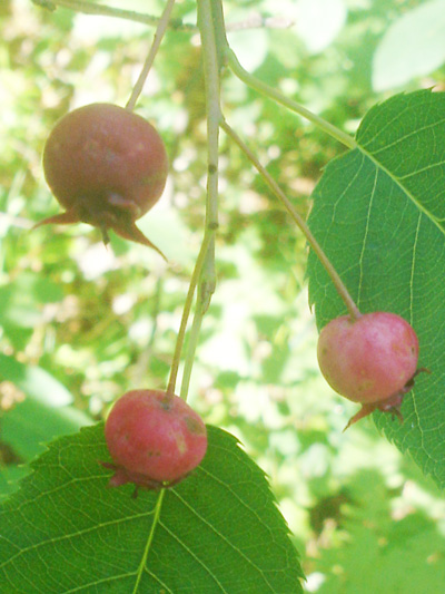 Amelanchier arborescent (Amelanchier arborea) Fruits