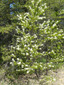 Downy serviceberry : 1- Flowering tree