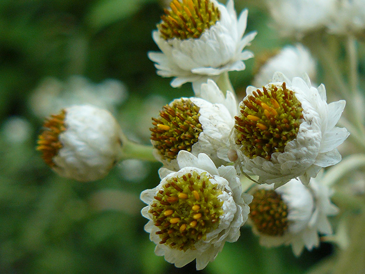 Pearly everlasting (Anaphalis margaritacea) : Flowers
