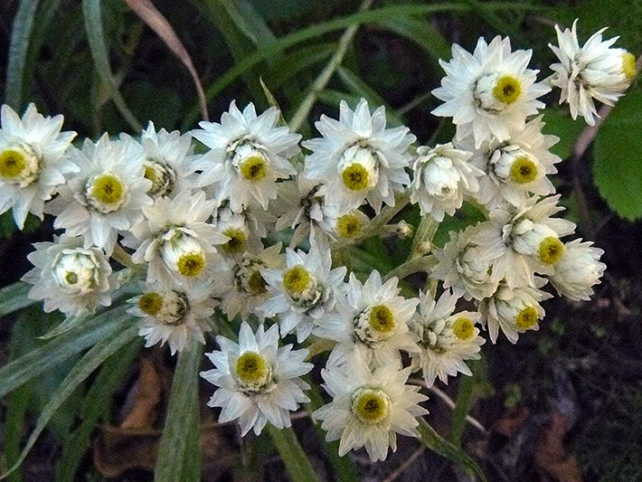 Pearly everlasting (Anaphalis margaritacea) : Inflorescences