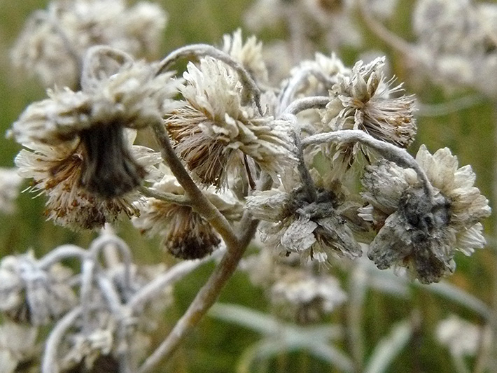 Pearly everlasting (Anaphalis margaritacea) : Forming fruits
