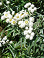 Pearly everlasting : 1- Blooming plant