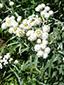 Immortelle blanche : 1- Plante en fleurs
