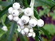 Pearly everlasting : 2- Buds