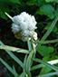 Immortelle blanche : 3- Jeune inflorescence