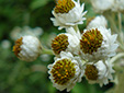 Pearly everlasting : 4- Flowers
