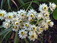 Pearly everlasting : 5- Inflorescences