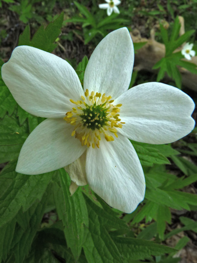 Canada anemone (Anemone canadensis) : Flower