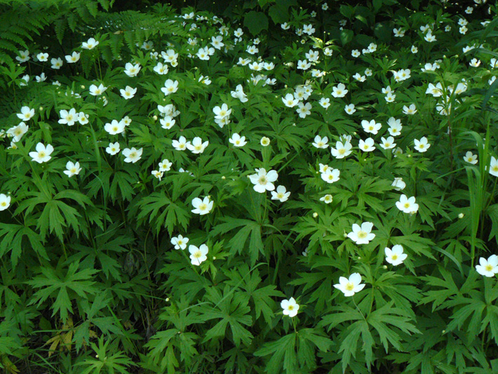 Canada anemone (Anemone canadensis) : Colony