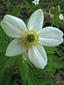 Canada anemone : 1- Flower