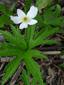 Anémone du canada : 2- Plante en fleur