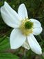 Anémone du canada : 3- Fleur