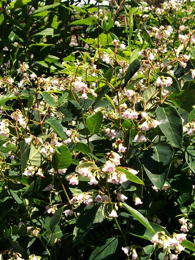 Apocyn a feuilles d'androseme (Apocynum androsaemifolium) Plantes en fleurs