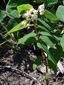 Apocyn à feuilles d'androsème : 2- Plante en fleur
