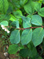 Spreading dogbane : 4- Leaves