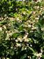 Apocyn à feuilles d'androsème : 5- Plantes en fleurs