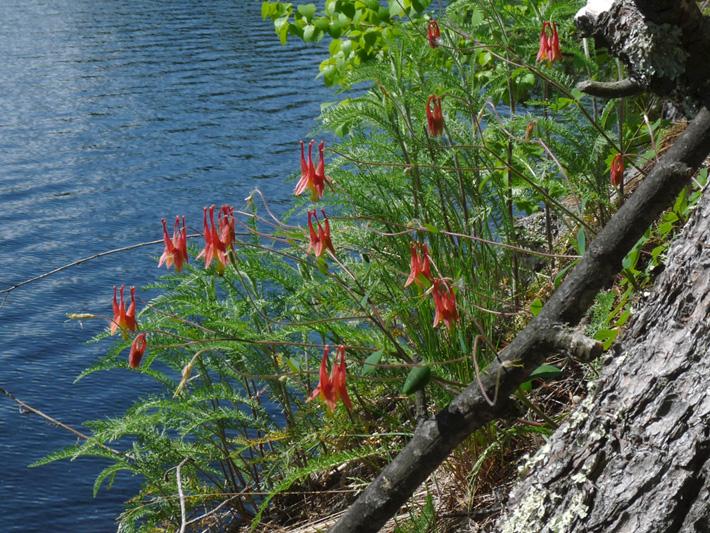Ancolie du canada (Aquilegia canadensis) Plantes en fleurs