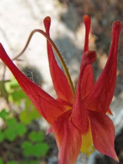 Red columbine (Aquilegia canadensis) : Spurs