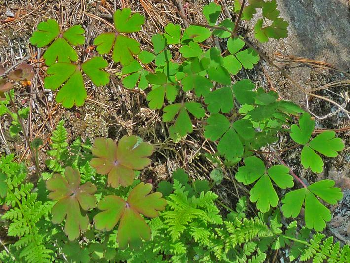 Ancolie du canada (Aquilegia canadensis) Feuilles