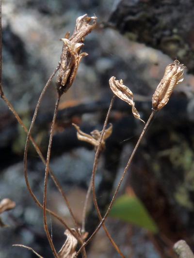 Red columbine (Aquilegia canadensis) : Fruits (capsules)