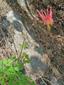 Red columbine : 3- Plante en fleur