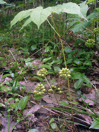 Wild sarsaparilla (Aralia nudicaulis) : Plant