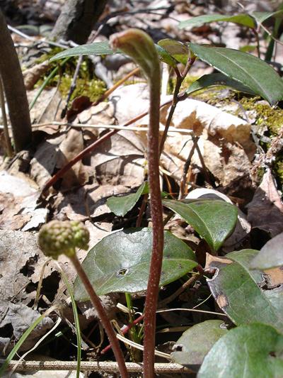 Wild sarsaparilla (Aralia nudicaulis) : Very young plant