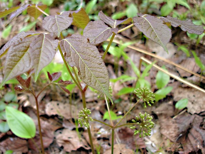 Wild sarsaparilla (Aralia nudicaulis) : Young plant