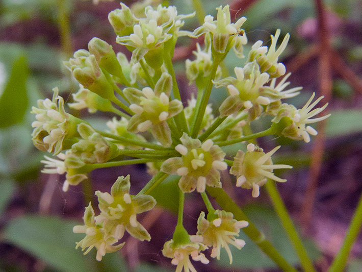 Wild sarsaparilla (Aralia nudicaulis) : Inflorescence