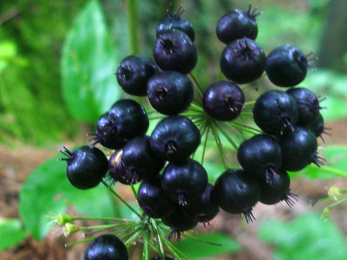 Wild sarsaparilla (Aralia nudicaulis) : Fruits