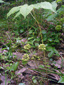 Aralie chassepareille : 1- Plante